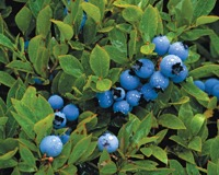 r01_blueberry_barrens_closeup_sma